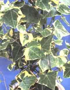 Трипсы на комнатных растениях Борьба  Начинающему цветоводу