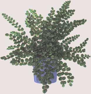Лен фото  выращивание в домашних условиях  Сайт о саде